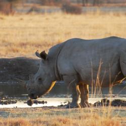 Nashorn im Khama Rhino Sanctuary - Bild von Kalahari Calling
