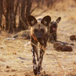 Ein Rundel Wildhunde in der Gegend von Savuti