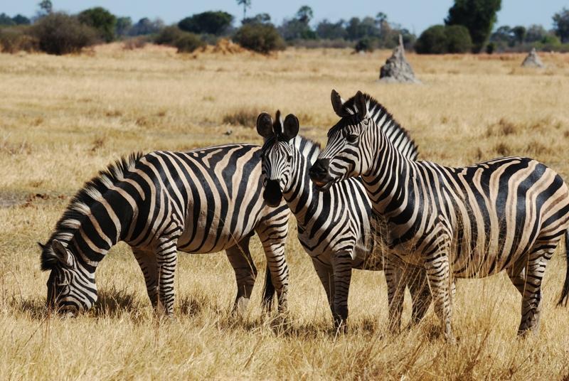 Zebras im Moremi Nationalpark