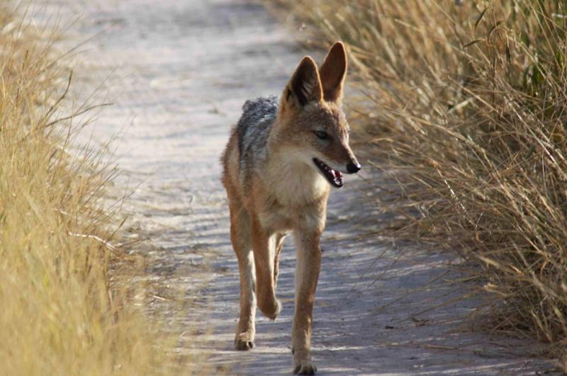 """""""Cry of the Kalahari"""" ist ein Buchtitel und er meint den """"Ruf des Schakals"""", den man am Abend überall in der Kalahari hören kann"""