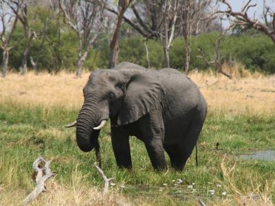 Elefant im Okavango Delta - Bild von Kalahari Calling