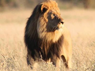 Löwe im Central Kalahari Game Reserve
