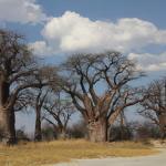 Baines Baobabs in Botswana