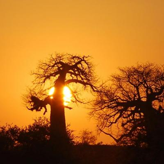 Pafuri Baobabs im Norden des Krüger Nationalparks