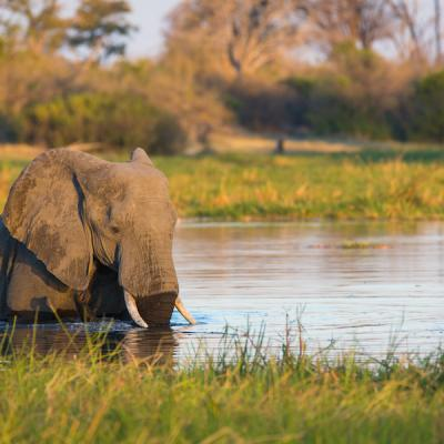 Botswana Safari - Elefant am Khwai River