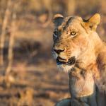 Botswana Safari - Löwin an der Chobe River Front