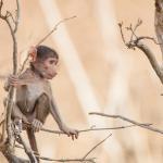 Botswana Safari - Pavianjunges im Chobe NP