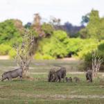 Botswana Safaris - Warzenschweine an der Chobe River Front