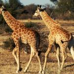 Giraffen im Tuli Block - Selbstfahrer Camping Rundreise Botswana