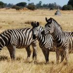 Zebras im Moremi Game Reserve