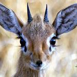 Auf Wanderungen begegnet man häufig den winzigen Dik Dik Antilopen