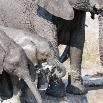 Elefanten - Kalahari Calling ©