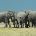 Elefanten Etosha - Selbstfahrer Namibia