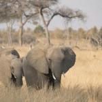 Elefanten im Hwange Nationalpark, Zimbabwe