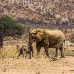 Elefanten  - Hobatere Lodge, Namibia
