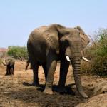 Elefanten in der Tuli Wilderness