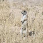Erdhörnchen in der Kalahari - Selbstfahrer Camping Trip Botswana