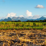 Felder auf Mauritius - Kalahari Calling UG