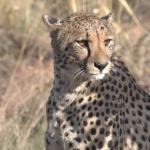 Gepard - © Inzalo Safari Lodge
