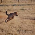 Geparden Training beim CCF in Namibia