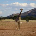Giraffe - Mount Etjo Lodge
