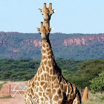 Giraffen am Waterberg in Namibia