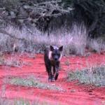 Hyäne auf Okonjima
