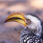 Gelbschnabel Toko - Campingtrip mit Kalahari Calling