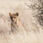 Löwin in der Kalahari
