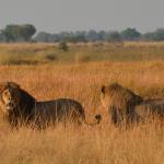 Löwen in der Kwando Kwara Concession, Okavango Delta