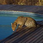 Leopard am Pool - Kwando Tau Pan Camp