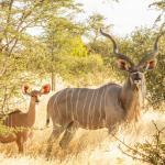 Kudu in der Kalahari - Tau Pan Camp