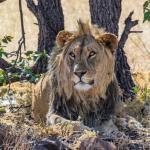 Löwe auf dem Grootberg Plateau - Grootberg Lodge in Namibia