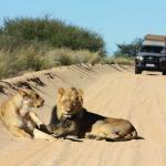Löwen im Kgalagadi Transfrontier NP in Namibia