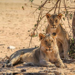 Löwen in der Hobatere Concession in Namibia