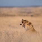 Onguma Game Reserve - Löwin