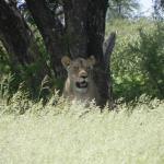 Löwin im Khutse Game Reserve