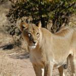 Löwin in der Tuli Wilderness