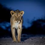 Löwin im Onguma Game Reserve
