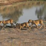 Löwen - © Inzalo Safari Lodge