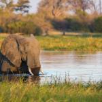 Elefant am Khwai River - Safari Botswana