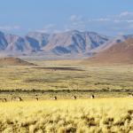 Oryx ziehen durch die Landschaft