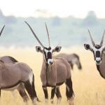 Oryxantilopen in der Kalahari - auf mobiler Safari in Botswana