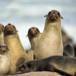 Seehunde an der Skelettküste Namibias