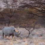 Onguma Game Reserve - Spitzmaulnashorn