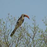Rotschnabel Toko im Hwange Nationalpark