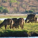 Wasserböcke an der Chobe Waterfront