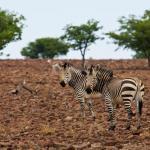 Zebras auf dem Grootberg Plateau in Namibia