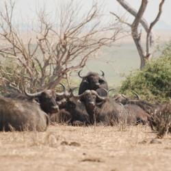 Büffel Ihaha © Kalahari Calling
