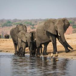Botswana Safari - Elefanten am Chobe Fluss